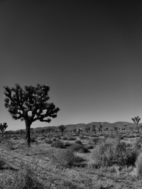 Joshua Tree.jpeg